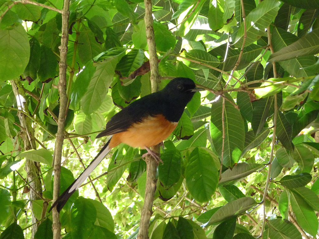 White-rumped Shama svg #8, Download drawings