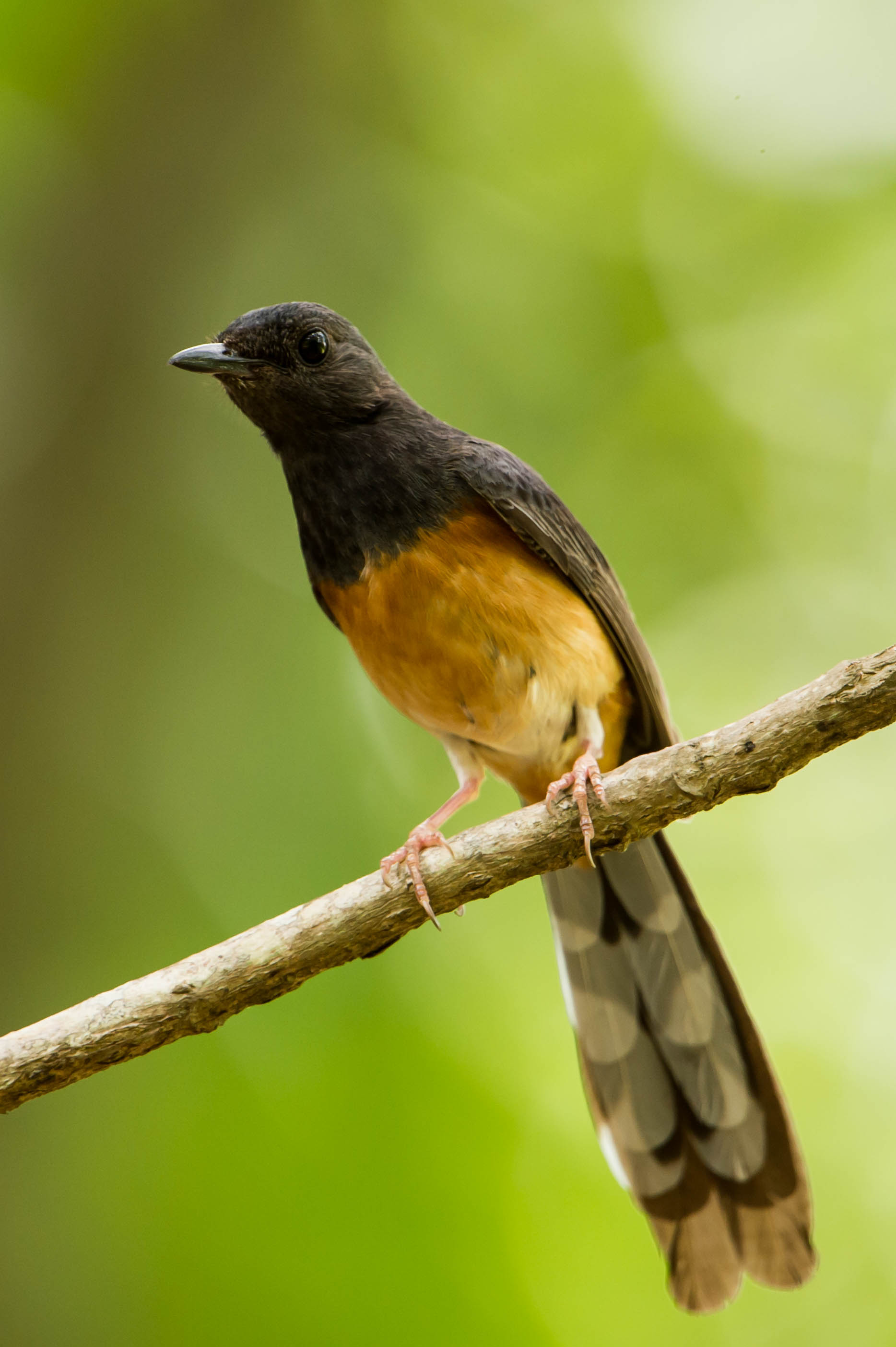 White-rumped Shama svg #18, Download drawings