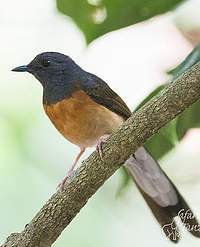 White-rumped Shama svg #4, Download drawings