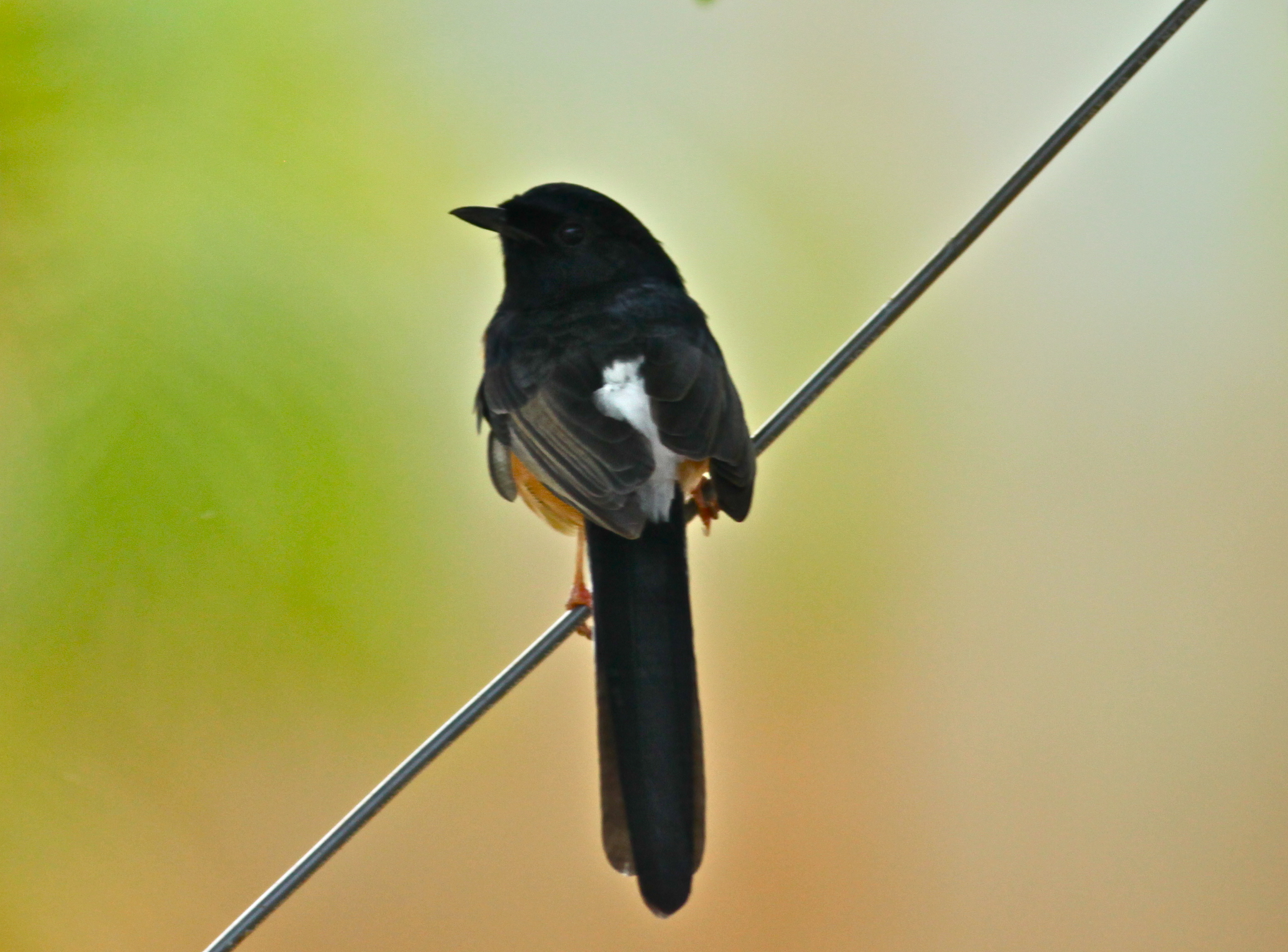 White-rumped Shama svg #11, Download drawings
