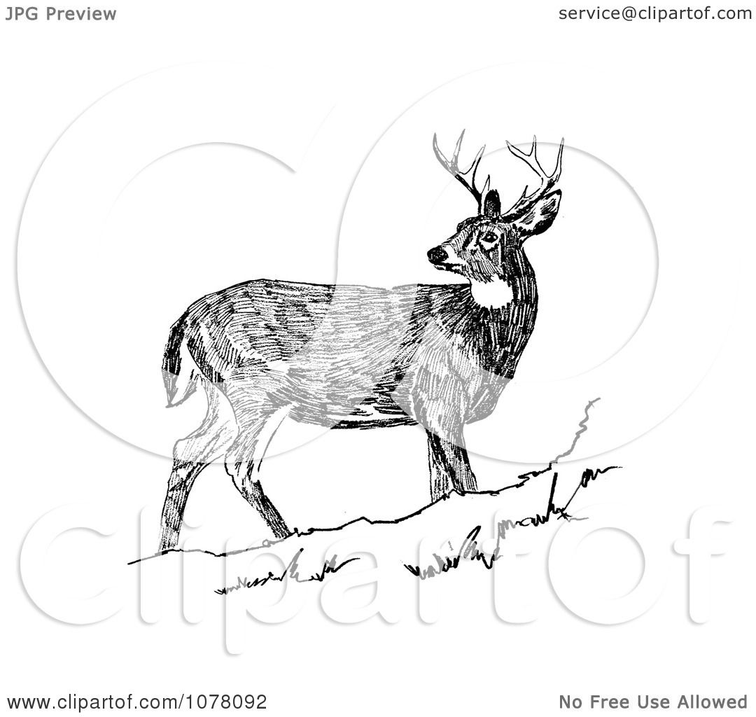 White-tailed Deer clipart #7, Download drawings
