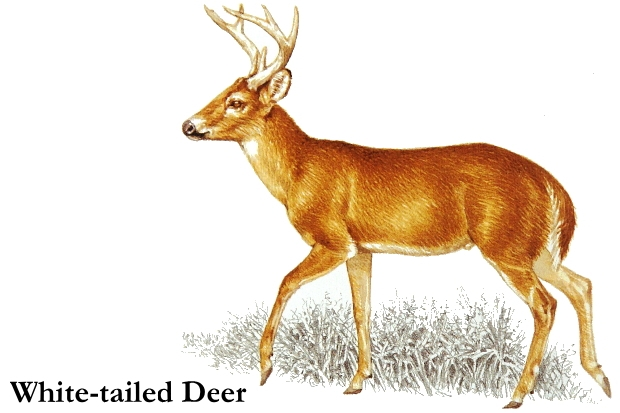 White-tailed Deer clipart #13, Download drawings