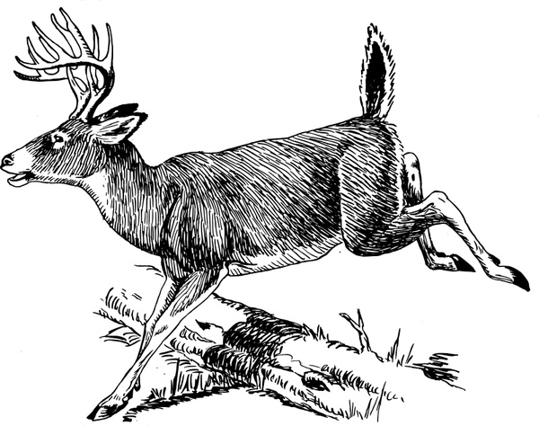White-tailed Deer svg #1, Download drawings