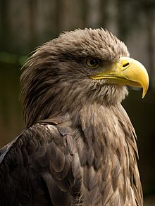 White-tailed Eagle svg #1, Download drawings