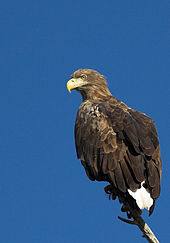 White-tailed Eagle svg #11, Download drawings
