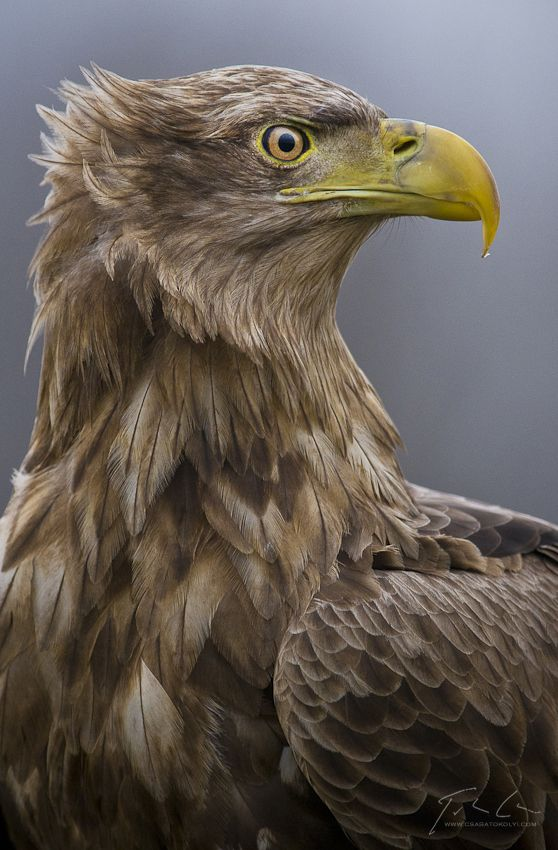 White-tailed Eagle svg #17, Download drawings