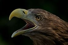 White-tailed Eagle svg #18, Download drawings