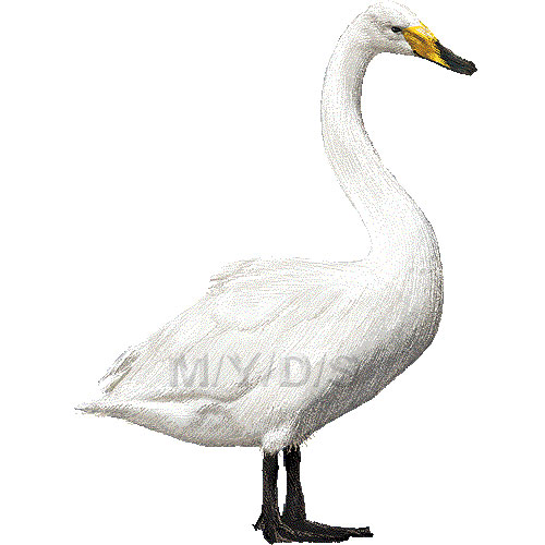 Whooper Swan clipart #1, Download drawings