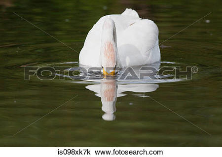 Whooper Swan clipart #10, Download drawings