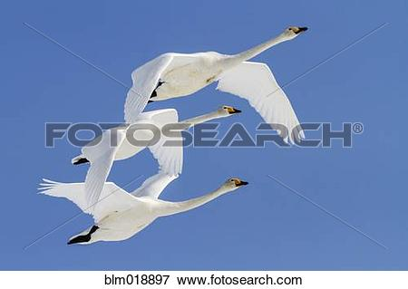 Whooper Swan clipart #11, Download drawings