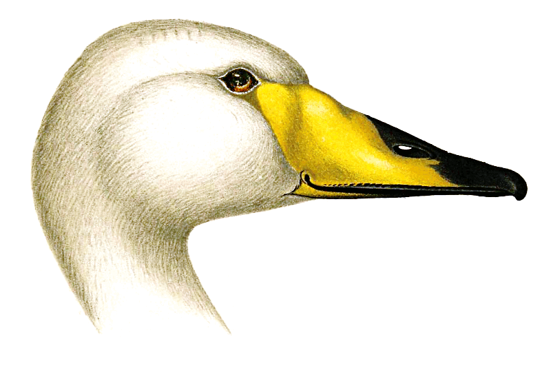 Whooper Swan clipart #2, Download drawings