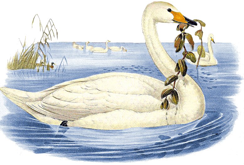 Whooper Swan clipart #18, Download drawings