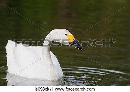 Whooper Swan clipart #4, Download drawings