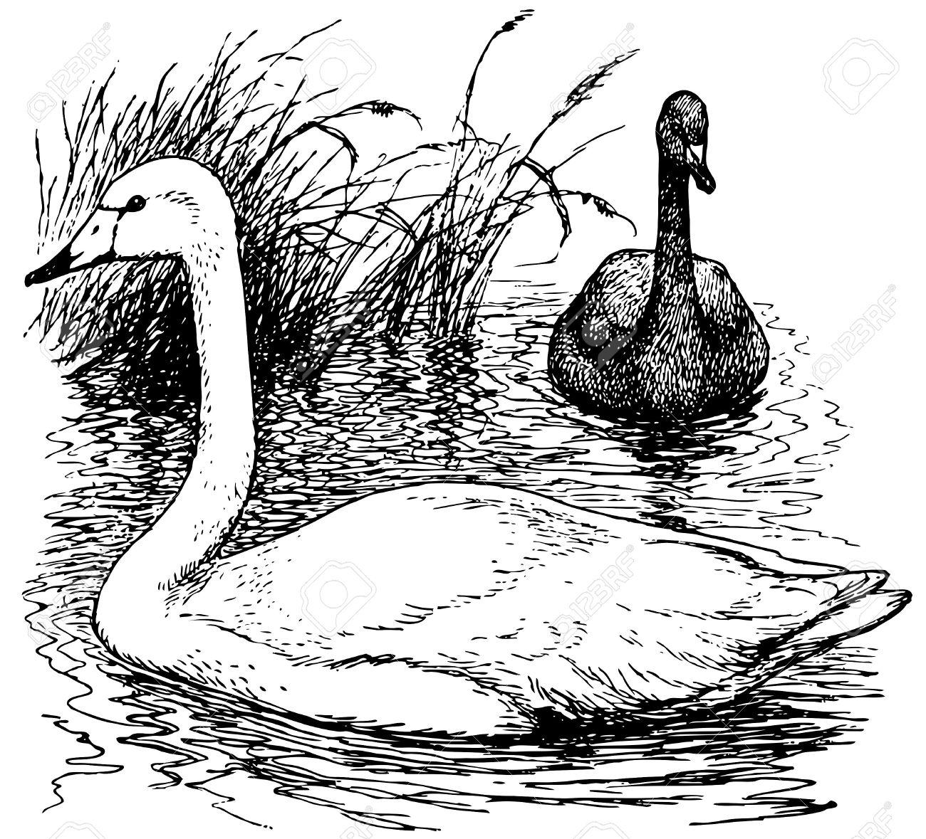 Whooper Swan coloring #2, Download drawings