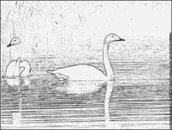 Whooper Swan coloring #12, Download drawings