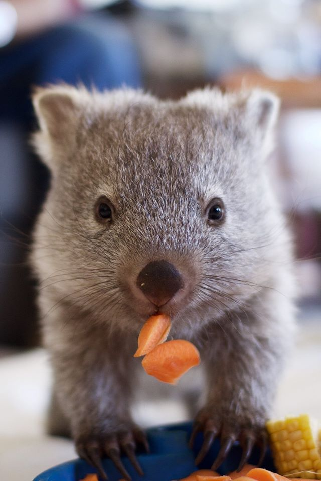 Whopping Wombat clipart #19, Download drawings