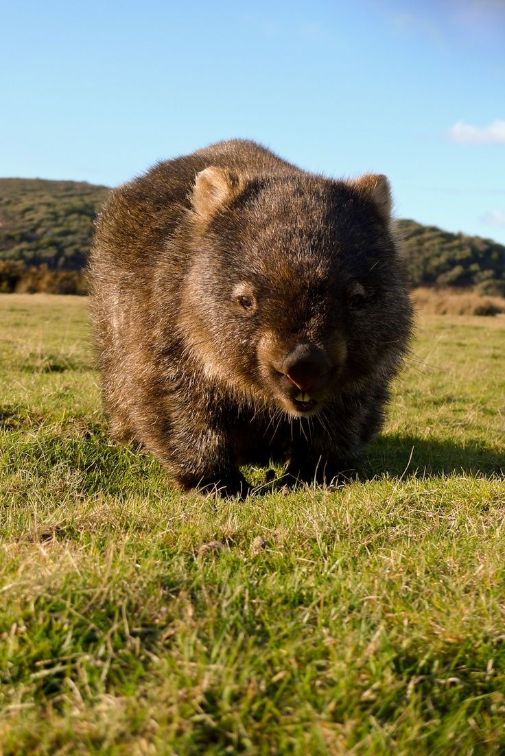 Whopping Wombat clipart #18, Download drawings