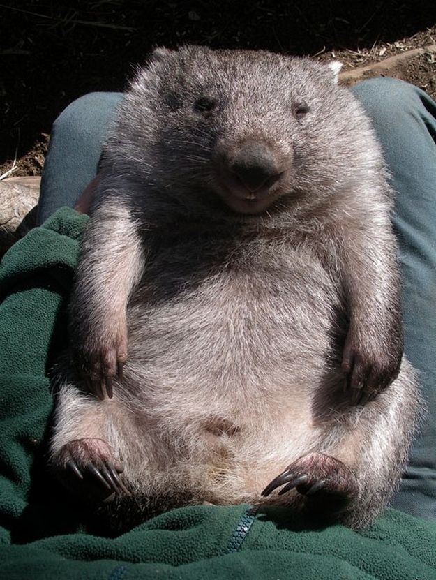 Whopping Wombat clipart #2, Download drawings
