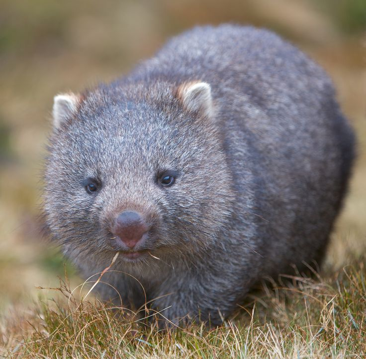 Whopping Wombat clipart #20, Download drawings