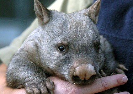 Whopping Wombat clipart #12, Download drawings