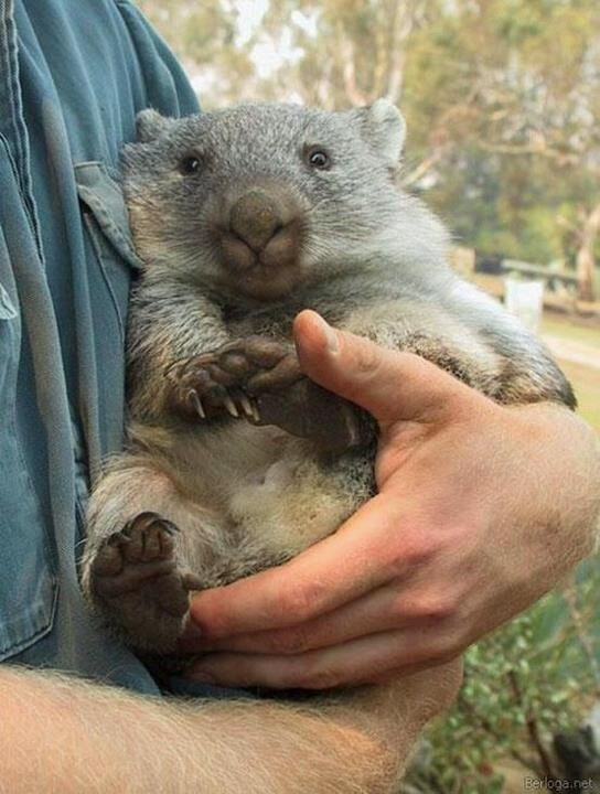 Whopping Wombat clipart #11, Download drawings