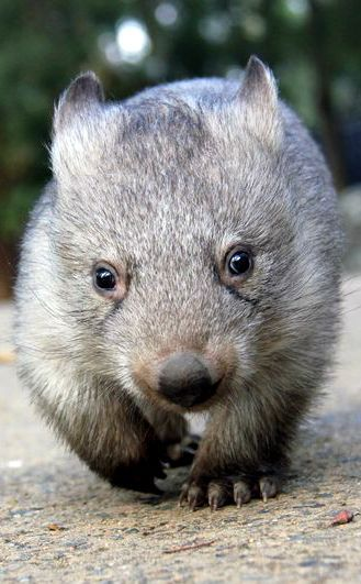 Whopping Wombat clipart #13, Download drawings