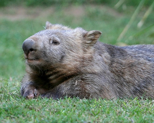 Whopping Wombat clipart #17, Download drawings