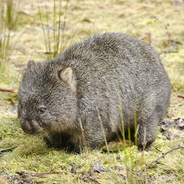 Whopping Wombat clipart #9, Download drawings