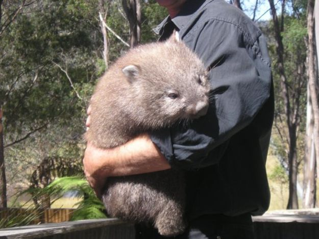 Whopping Wombat clipart #10, Download drawings