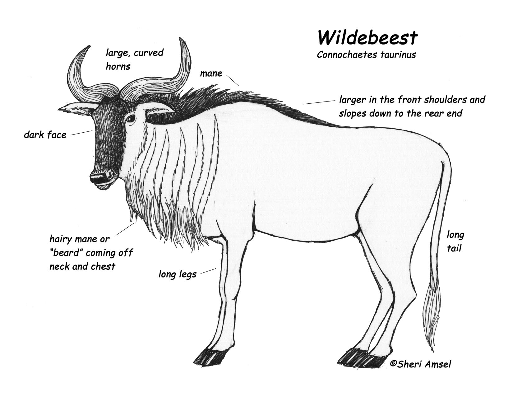 Wildebeest coloring #9, Download drawings