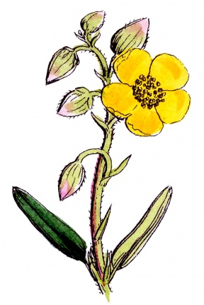 Wildflower clipart #15, Download drawings