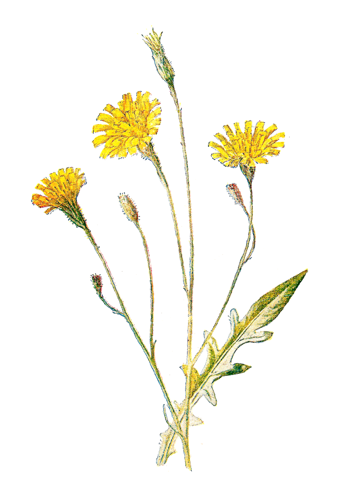 Wildflower clipart #12, Download drawings