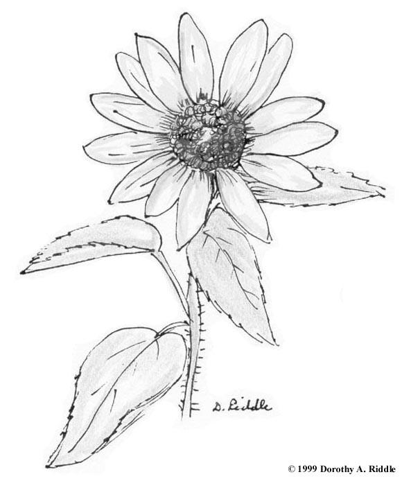 Wildflower coloring #6, Download drawings
