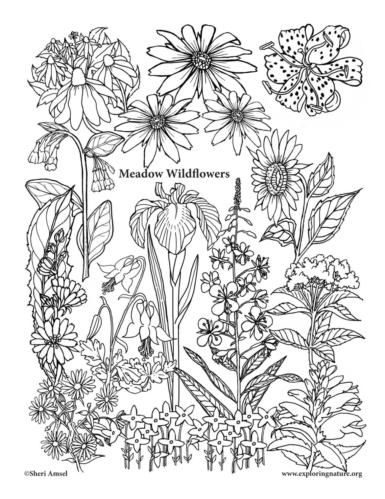 Wildflower coloring #2, Download drawings