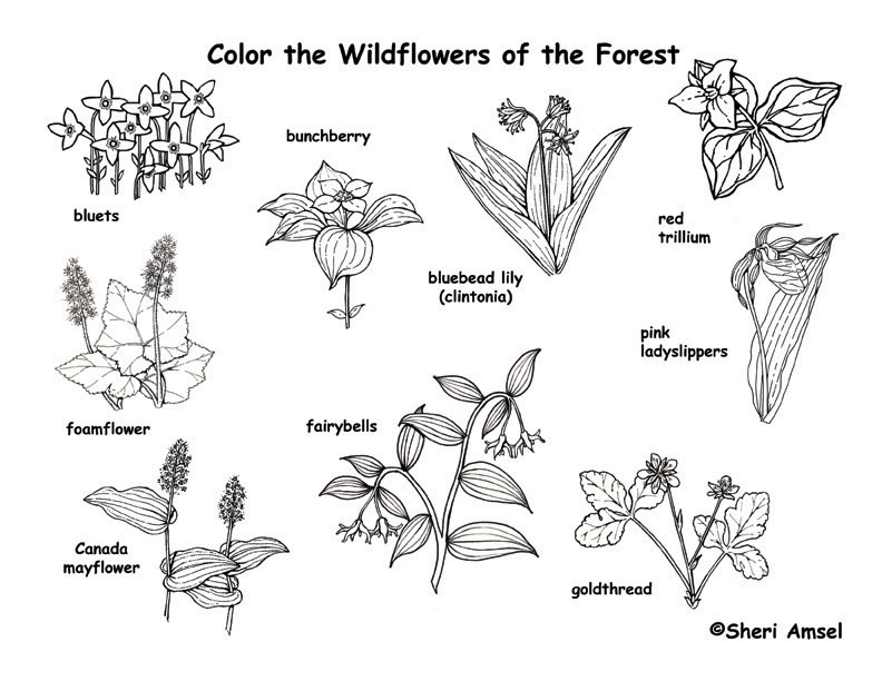 Wildflower coloring #3, Download drawings