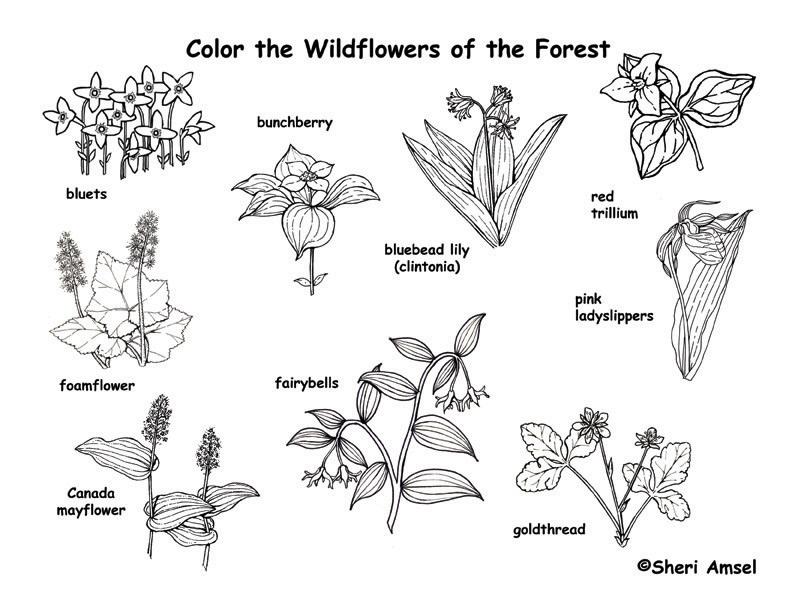 Wildflower coloring #3, Download drawings