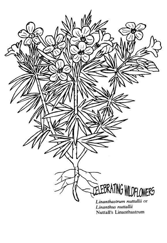 Wildflower coloring #12, Download drawings