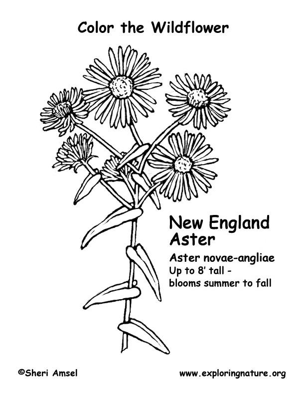 Wildflower coloring #15, Download drawings