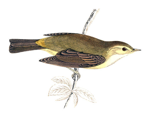 Willow Warbler clipart #20, Download drawings