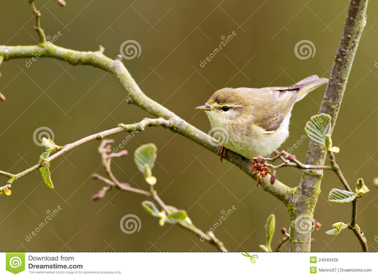 Willow Warbler clipart #8, Download drawings