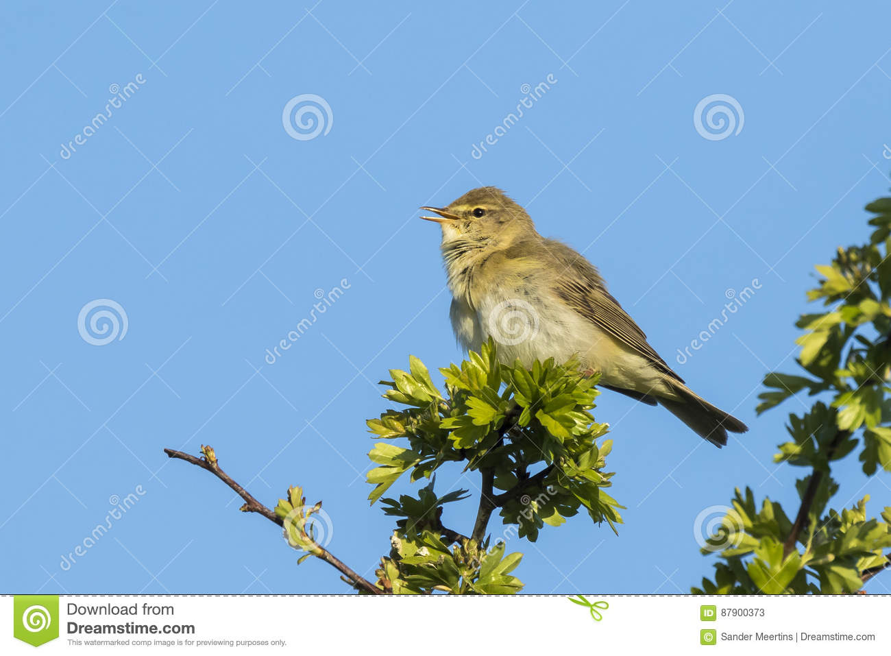 Willow Warbler clipart #7, Download drawings