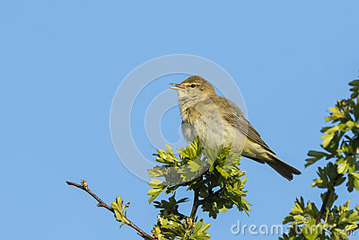 Willow Warbler clipart #12, Download drawings