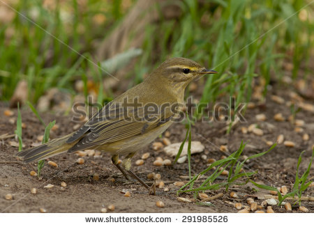 Willow Warbler clipart #2, Download drawings