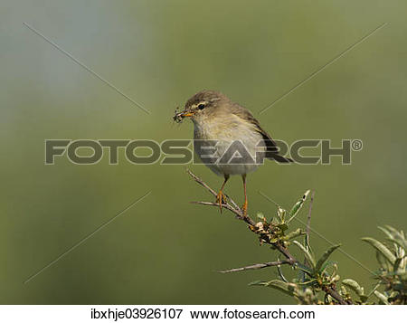 Willow Warbler clipart #17, Download drawings