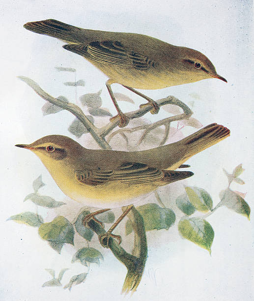Willow Warbler clipart #19, Download drawings