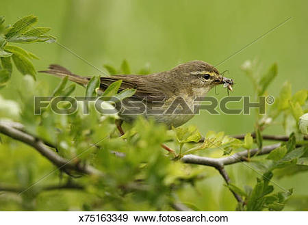 Willow Warbler clipart #15, Download drawings
