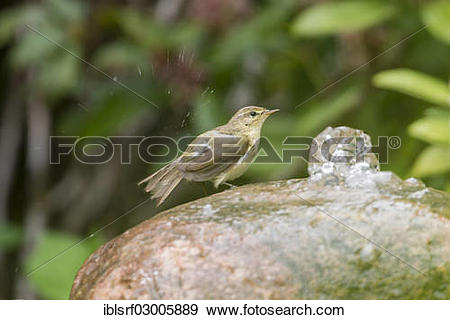Willow Warbler clipart #16, Download drawings