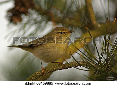 Willow Warbler clipart #13, Download drawings