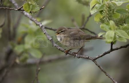 Willow Warbler coloring #13, Download drawings