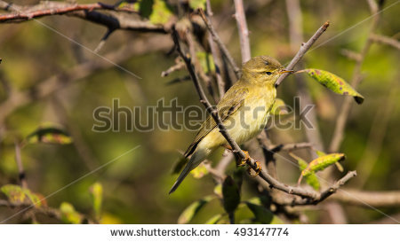 Willow Warbler coloring #5, Download drawings